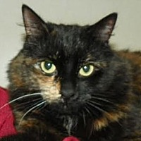 Domestic Mediumhair Cat for adoption in Richmond Hill, Ontario - Audrey *Happy Single*
