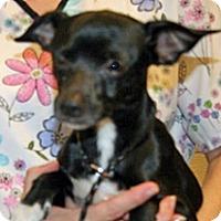 Chihuahua Mix Dog for adoption in Wildomar, California - Alvin
