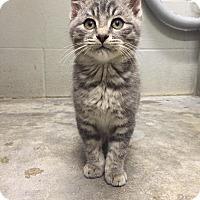 Adopt A Pet :: tiny tim - Bryan, OH