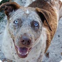 Adopt A Pet :: Ocean - Bradenton, FL