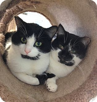 Domestic Shorthair Cat for adoption in St. Paul, Minnesota - Smudge