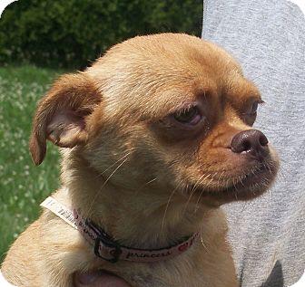 Pug/Pekingese Mix Dog for adoption in Germantown, Maryland - Sandy