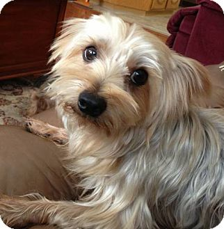 Poppy Adopted Dog Yakima Wa Yorkie Yorkshire