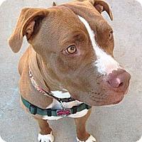Adopt A Pet :: Daphne - San Diego, CA