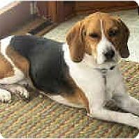 Adopt A Pet :: Corky - Novi, MI