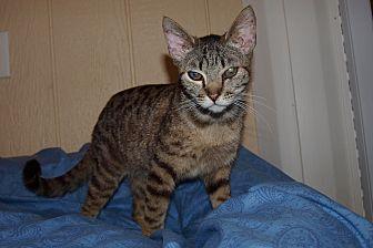 Domestic Shorthair Cat for adoption in Jackson, Mississippi - Bogart