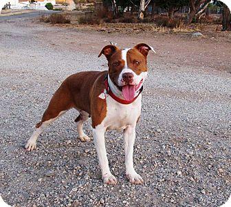 American Staffordshire Terrier Mix Dog for adoption in Toluca Lake, California - Jonsey