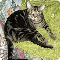 Domestic Shorthair Cat for adoption in Plano, Texas - HENRY - BESTEST BARN BUDDY!