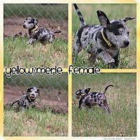 Great Dane/Labrador Retriever Mix Puppy for adoption in Abilene, Texas - Yellow/Merle Female