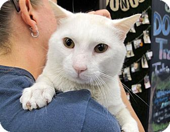 Siamese Cat for adoption in Brooklyn, New York - Alvin, Sweet Siamese Mix