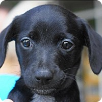 Adopt A Pet :: Flora - Holly Springs, NC