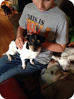 Chihuahua/Fox Terrier (Toy) Mix Dog for adoption in Butler, Ohio - Moxie