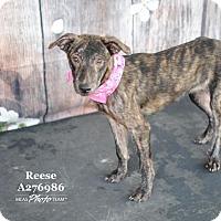 Adopt A Pet :: REESE - Conroe, TX