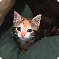Domestic Shorthair Kitten for adoption in Fort Lauderdale, Florida - Calypso