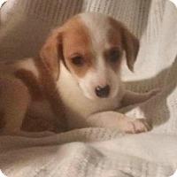 Adopt A Pet :: Bentley - Fort Wayne, IN