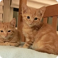 Adopt A Pet :: 2 ORANGE KITTENS - New york, NY
