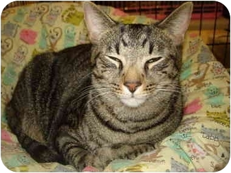 Domestic Shorthair Cat for adoption in Chesapeake, Virginia - Brooklyn-F & New York-M