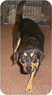 Rottweiler/Terrier (Unknown Type, Medium) Mix Dog for adoption in Grantville, Pennsylvania - Sophie