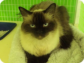 Himalayan Cat for adoption in Memphis, Tennessee - Ming