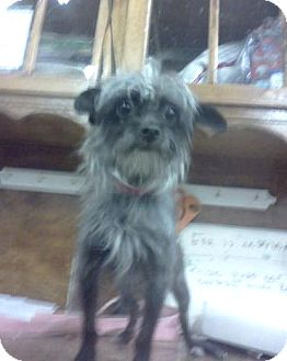 Chinese Crested Terrier Mix