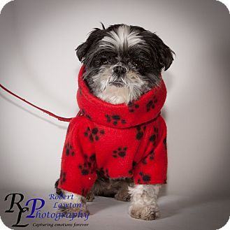 Shih Tzu Dog for adoption in Eden Prairie, Minnesota - Gracie
