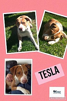 Hound (Unknown Type)/Pit Bull Terrier Mix Dog for adoption in ST LOUIS, Missouri - Tesla