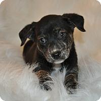Adopt A Pet :: Wanda (puppy) - Crocker, MO