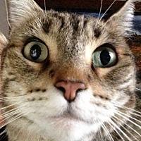 Domestic Mediumhair Cat for adoption in Phoenix, Arizona - Josey