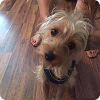 Yorkie, Yorkshire Terrier Mix Dog for adoption in Brooksville, Florida - Kizzy