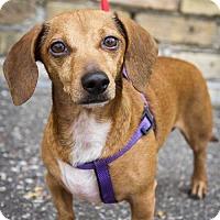 Dachshund Dog for adoption in St. Louis Park, Minnesota - Herbert