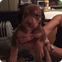 Adopt A Pet :: Giulia - Burlington, NJ