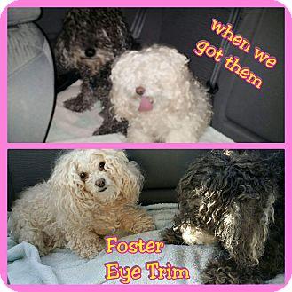 Poodle (Miniature)/Schnauzer (Miniature) Mix Dog for adoption in Mesa, Arizona - Mewshon and Kaecee