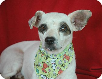 Jack Russell Terrier/Dachshund Mix Dog for adoption in Seabrook, New Hampshire - Honey