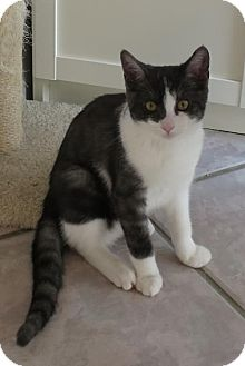 Domestic Shorthair Kitten for adoption in Toronto, Ontario - Molly