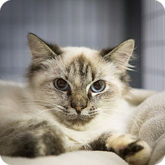 Domestic Mediumhair Cat for adoption in Houston, Texas - Creta