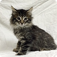Maine Coon Cat for adoption in Show Low, Arizona - Jeremy