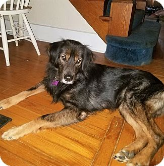Gordon Setter Rescue Ohio LENNY**5 YRS OLD! | Ad...