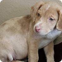 Adopt A Pet :: Cronos - Phoenix, AZ