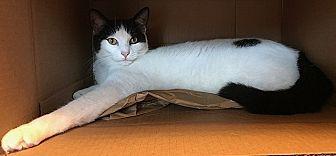 Domestic Shorthair Cat for adoption in Tampa, Florida - Romeo