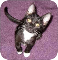 Domestic Shorthair Cat for adoption in Troy, Michigan - Taffy