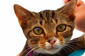 Domestic Shorthair Kitten for adoption in Lombard, Illinois - Kobruk