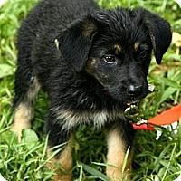 Adopt A Pet :: Ellie - Brattleboro, VT