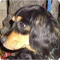 Adopt A Pet :: Scout - Arlington, TX