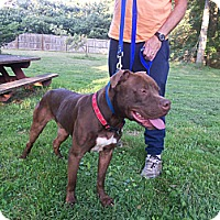 Adopt A Pet :: Brownie - SOUTHINGTON, CT