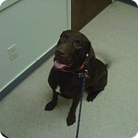 Labrador Retriever Dog for adoption in Baton Rouge, Louisiana - Duke