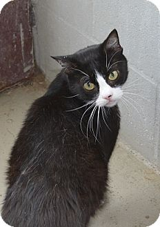 Domestic Shorthair Cat for adoption in New Iberia, Louisiana - Charlie