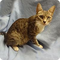 Adopt A Pet :: Sweetie - Bentonville, AR