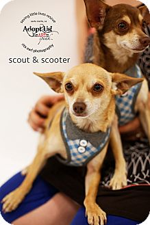 Chihuahua/Miniature Pinscher Mix Dog for adoption in Aqua Dulce, California - Scout