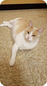 Domestic Shorthair Cat for adoption in Hazel Park, Michigan - Stella