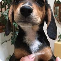 Adopt A Pet :: Bonnie - Schaumburg, IL